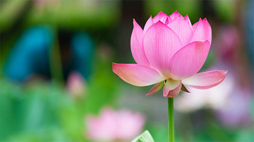 pink lotus flower meaning  pink lotus flower  pink lotus meaning, Beautiful flower