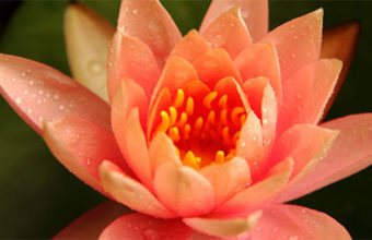 Red Lotus Flower Meaning