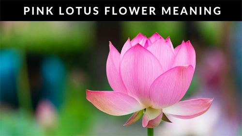 Pink Lotus Flower Meaning Pink Lotus Flower Pink Lotus Meaning