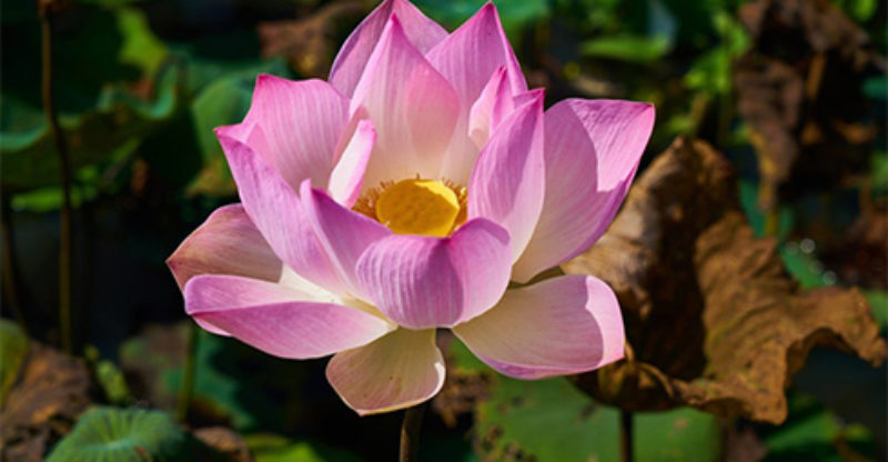 Lotus Flower Meaning What Does The Lotus Flower Mean