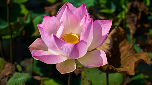 Lotus flower meaning what does the lotus flower mean white lotus flower mightylinksfo