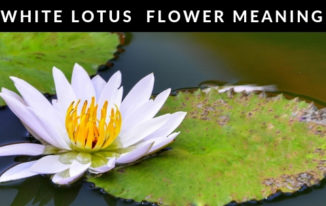 Blue lotus flower blue lotus flower meaning white lotus flower mightylinksfo Image collections
