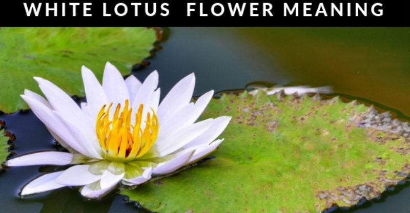 White Lotus Flower White Lotus Flower Meaning