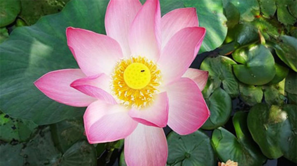 spiritual-meaning-of-lotus-flower