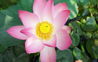 Lotus Flower and Spirituality
