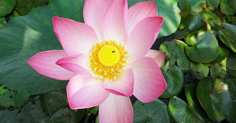 Lotus Flower And Spirituality Lotus Flower Symbolism
