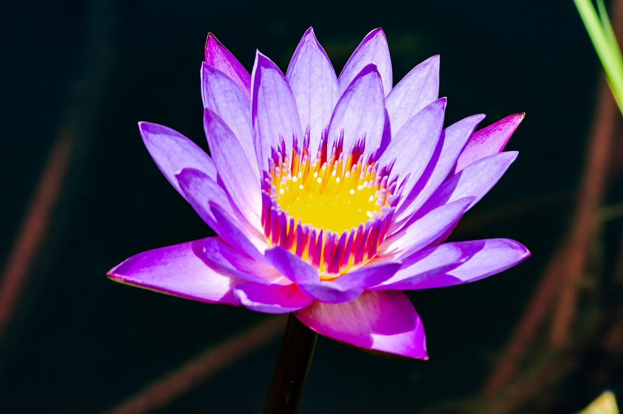Blue Lotus Flower Blue Lotus Flower Meaning